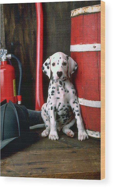 Dalmatian Puppy Fireman's Helmet Axe Barrel Wood Print featuring the photograph Dalmatian puppy with fireman's helmet by Garry Gay