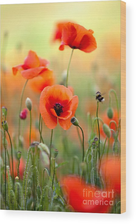 Poppy Wood Print featuring the photograph Red Corn Poppy Flowers 06 by Nailia Schwarz