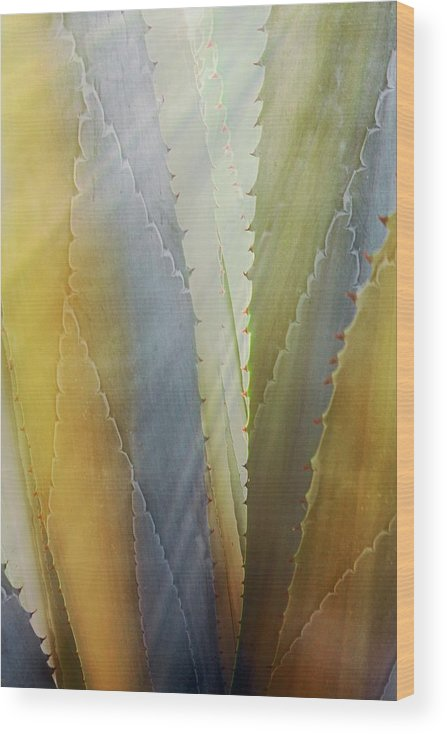 Nature Wood Print featuring the photograph Sawtooth Agave Gold Light by Zayne Diamond Photographic
