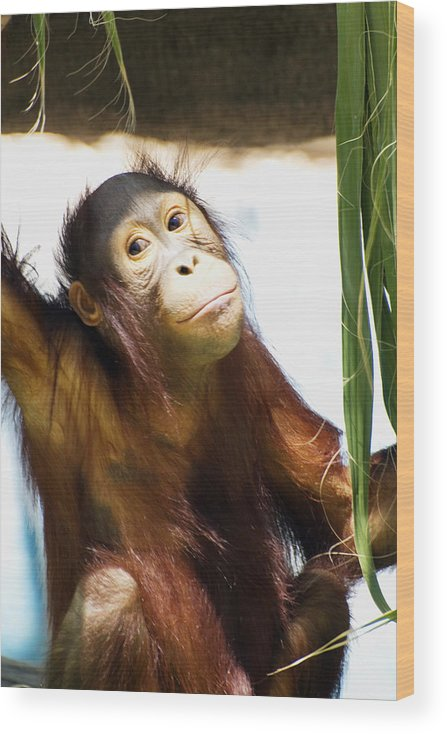 Orangutan Wood Print featuring the photograph Trying to Look Innocent by Richard Henne