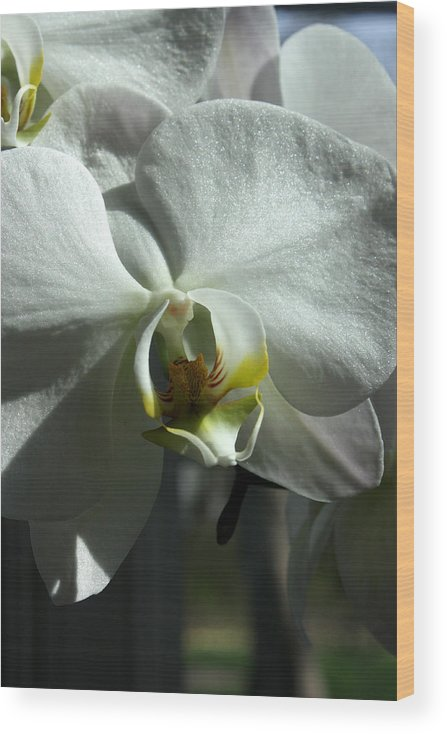 White Orchid Wood Print featuring the photograph White Orchid in spring by David Bearden