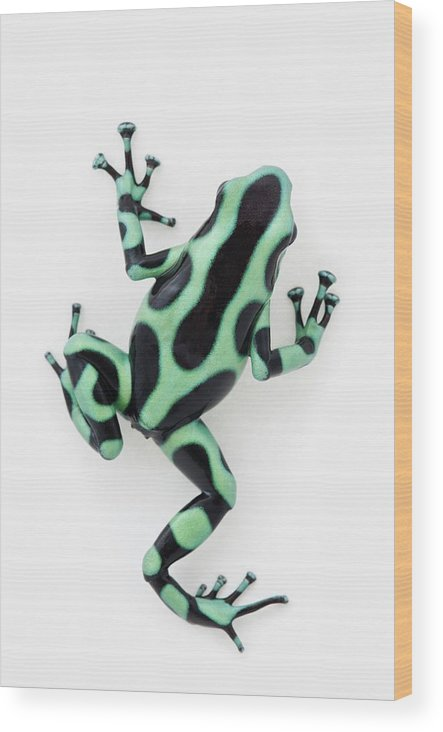 White Background Wood Print featuring the photograph Black And Green Poison Dart Frog by Design Pics / Corey Hochachka