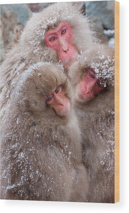 Vertebrate Wood Print featuring the photograph Japanese Macaques, Japanese Alps by Mint Images/ Art Wolfe