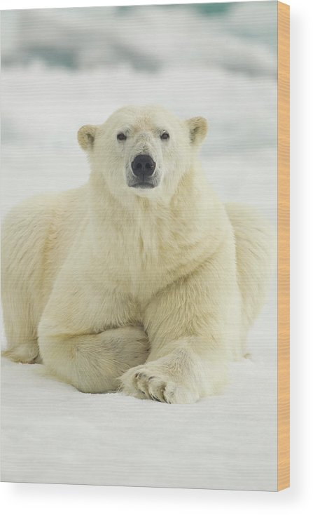 Dawn Wood Print featuring the photograph Polar Bear, Svalbard, Norway by Paul Souders