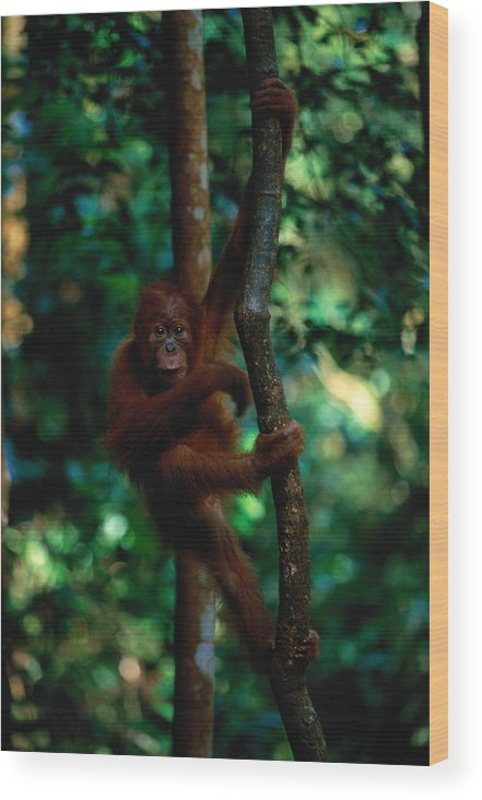 Southeast Asia Wood Print featuring the photograph Young Sumatran Orangutan Pongo Pongo by Art Wolfe