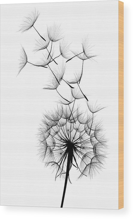 Wind Wood Print featuring the photograph Dandelion by Sunnybeach