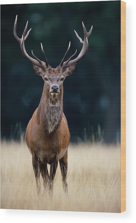 Rutting Wood Print featuring the photograph Red Deer by Damiankuzdak