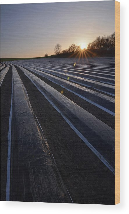 Tranquility Wood Print featuring the photograph Asparagus Field by Andy Brandl