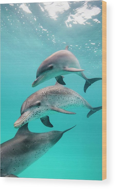 Underwater Wood Print featuring the photograph Atlantic Spotted Dolphin Stenella by Stephen Frink