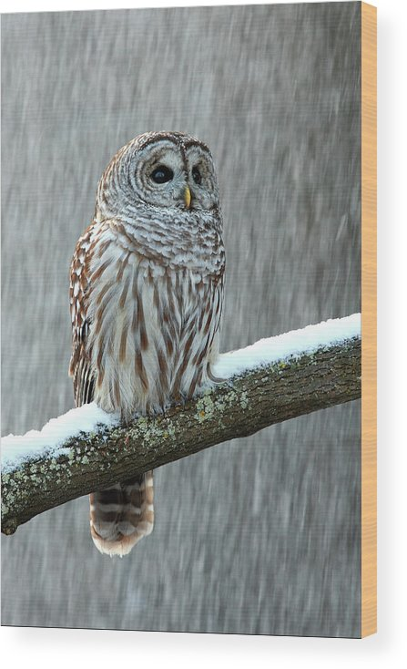 Alertness Wood Print featuring the photograph Barred Owl In The Snow by Alex Thomson Photography