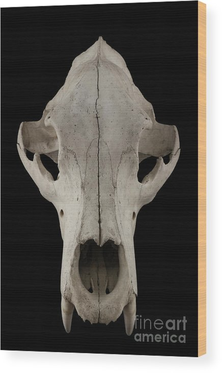 Animal Skull Wood Print featuring the photograph Bear Skull Isolated On A Black by Satirus