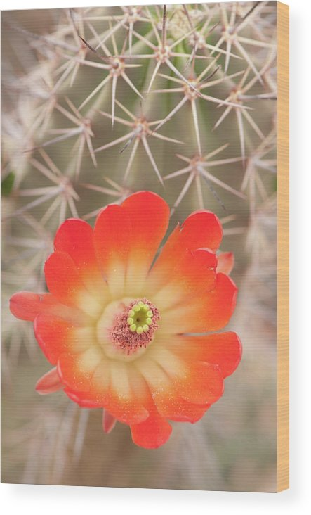 Orange Color Wood Print featuring the photograph Beautiful Claret Cup Hedgehog Blossoms by Lokibaho
