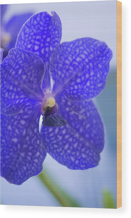 Rockville Wood Print featuring the photograph Blue Vanda Orchid Flower Close-up by Maria Mosolova