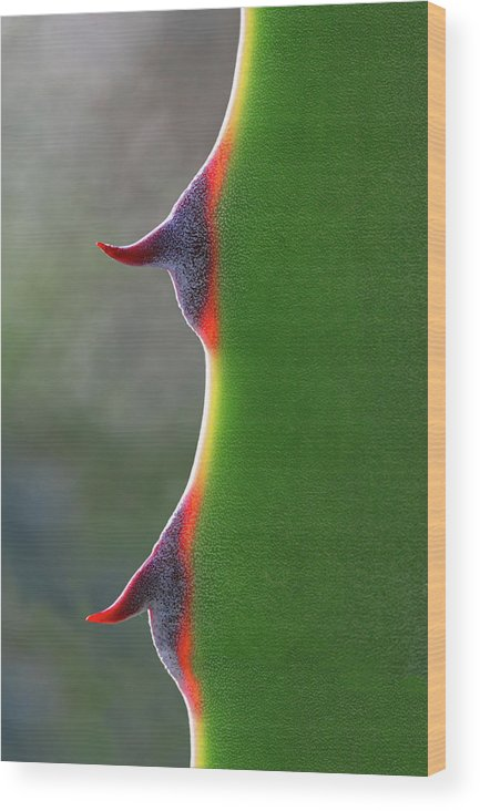 Needle Wood Print featuring the photograph Cactus by Patricia Fenn Gallery