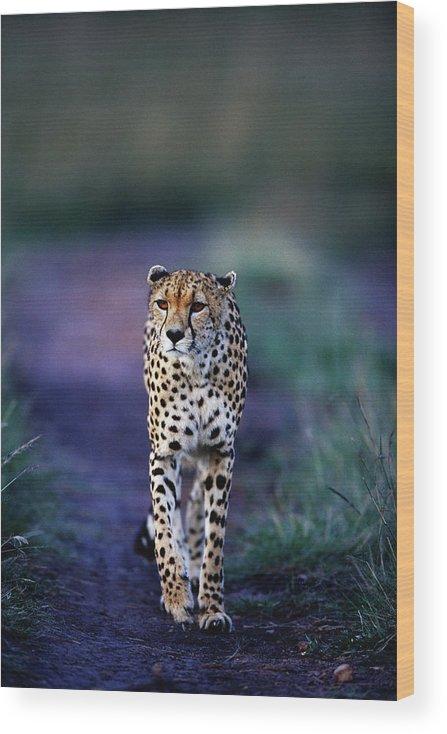 Kenya Wood Print featuring the photograph Cheetah Acinonyx Jubatus by Anup Shah