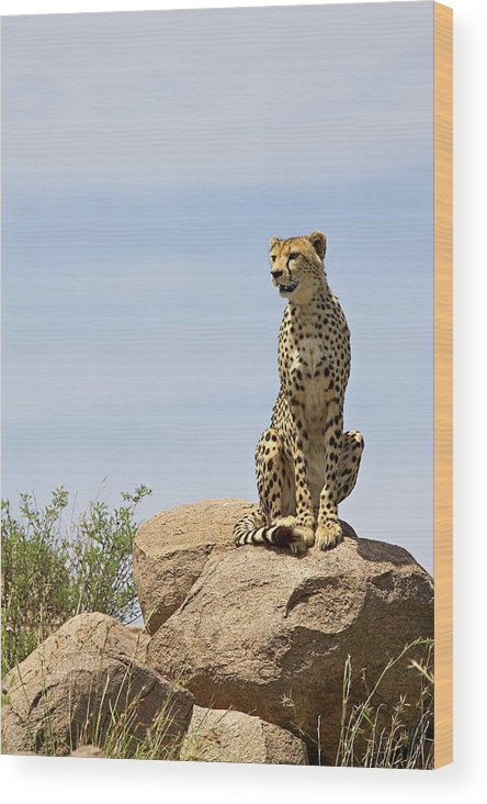 Tanzania Wood Print featuring the photograph Cheetah Acinonyx Jubatus Sitting On A by James Hager / Robertharding