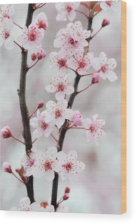 Cherry Wood Print featuring the photograph Cherry Plum Purple Plum Pink Flowers On by Martin Ruegner