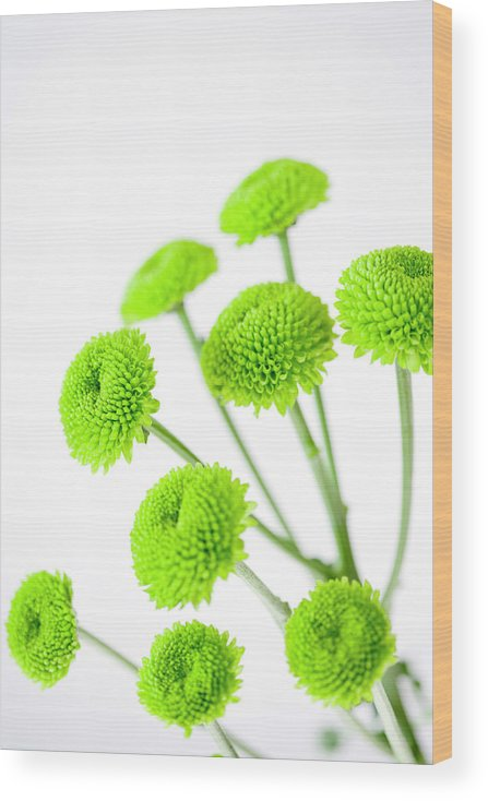 White Background Wood Print featuring the photograph Chrysanthemum Flowers by Nicholas Rigg