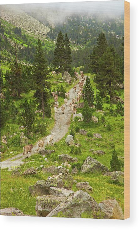 Catalonia Wood Print featuring the photograph Cows Walking In Catalan Pyrenees by Gonzalo Azumendi