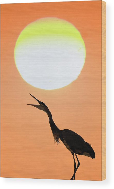 Animal Themes Wood Print featuring the photograph Great Blue Heron, Screeching, Sunset by Mark Newman