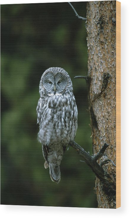 Great Gray Owl Wood Print featuring the photograph Great Gray Owl Strix Nebulosa On Perch by Riccardo Savi