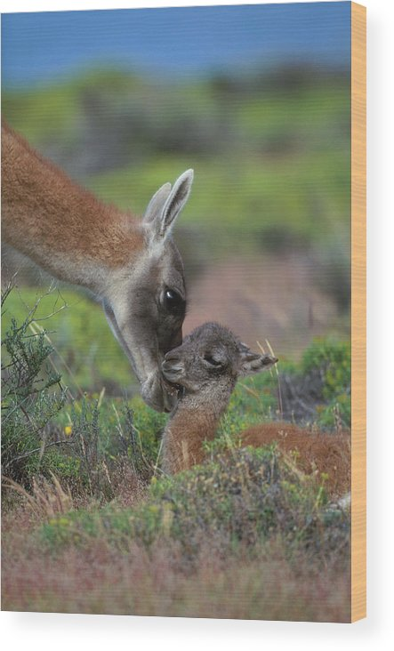 Care Wood Print featuring the photograph Guanaco Lama Guanicoe, Torres Del Paine by Art Wolfe