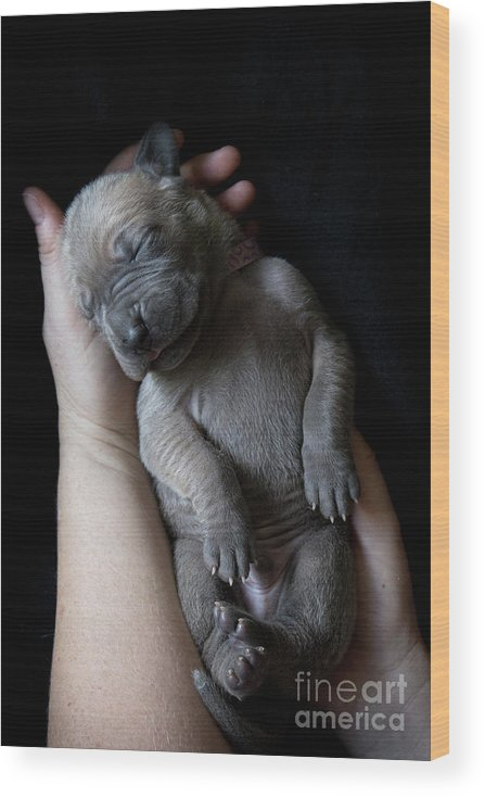 People Wood Print featuring the photograph Hands Holding A Sleeping Puppy by Ben Robson