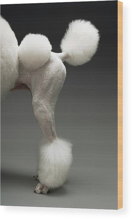 Pets Wood Print featuring the photograph Haunches Of Poodle, On Grey Background by Moodboard