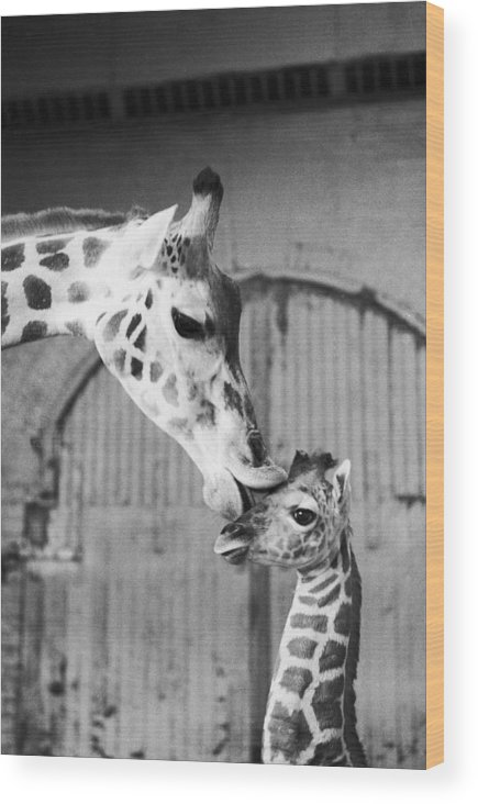 1980-1989 Wood Print featuring the photograph It Isnt Necking Its Mother Love..cleo by New York Daily News Archive