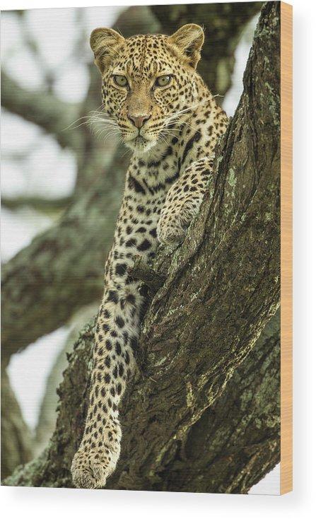 Dawn Wood Print featuring the photograph Leopard, Ndutu Plains, Tanzania by Paul Souders