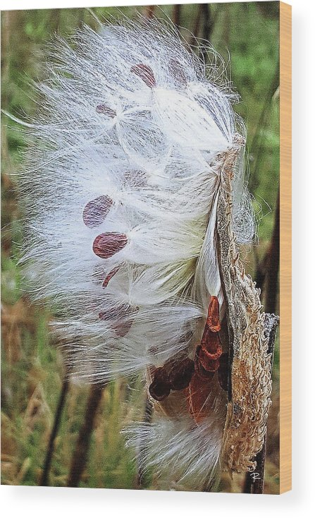 Nature Wood Print featuring the photograph Milkweed by Tom Romeo