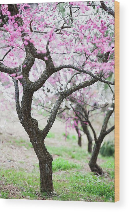 Scenics Wood Print featuring the photograph Plum Blossoms by Ooyoo