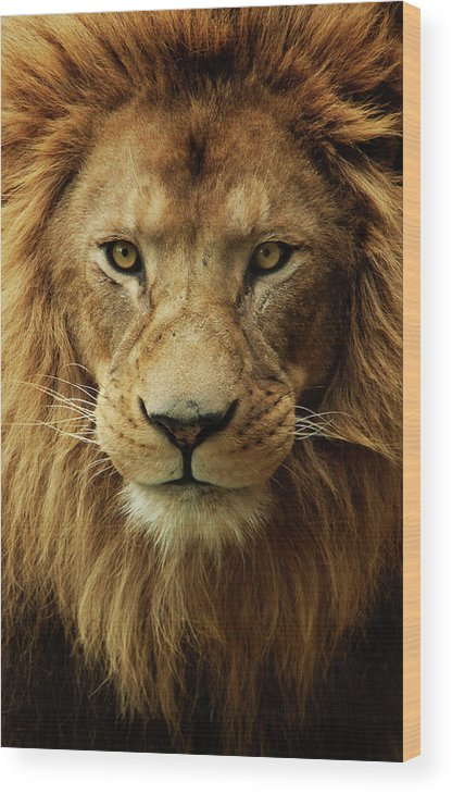 Animal Themes Wood Print featuring the photograph Portrait Male African Lion by Brit Finucci