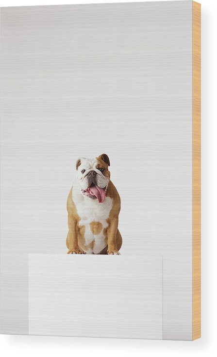 Pets Wood Print featuring the photograph Portrait Of British Bulldog Sitting by Compassionate Eye Foundation/david Leahy
