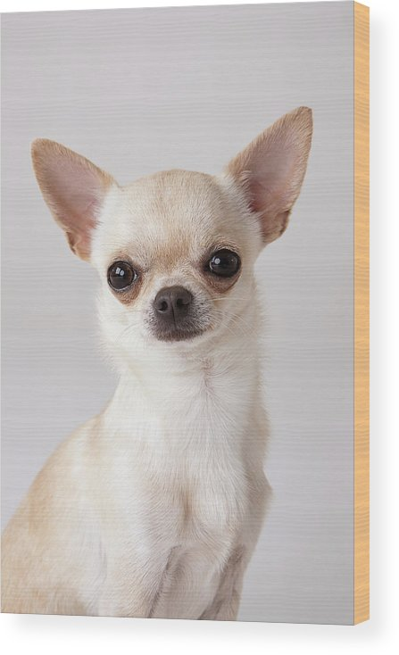Pets Wood Print featuring the photograph Portrait Of Chihuahua by Compassionate Eye Foundation/david Leahy