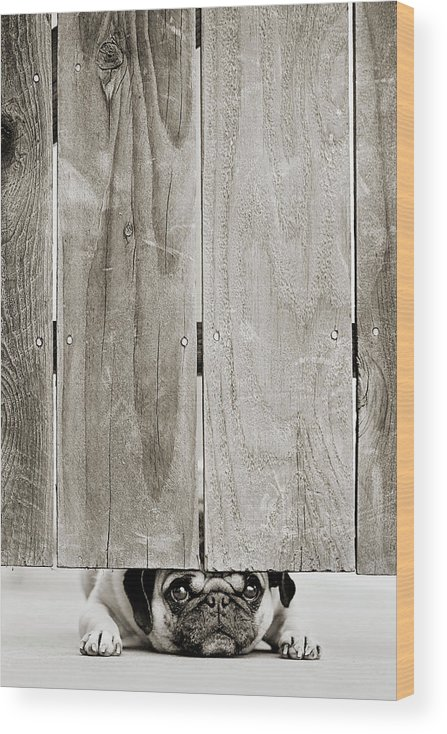 Pets Wood Print featuring the photograph Pug Face by Aaryn James