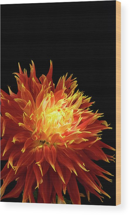 Firework Display Wood Print featuring the photograph Red-yellow Dahlia Flower by Eyepix