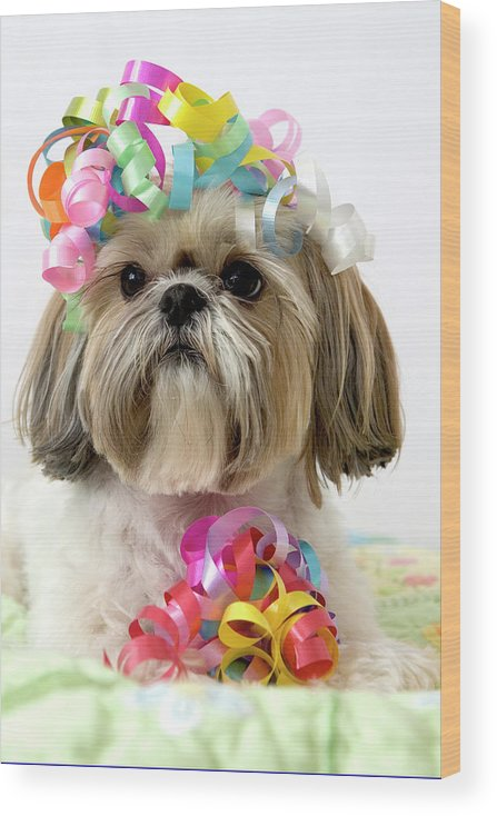 Pets Wood Print featuring the photograph Shih Tzu Dog by Geri Lavrov