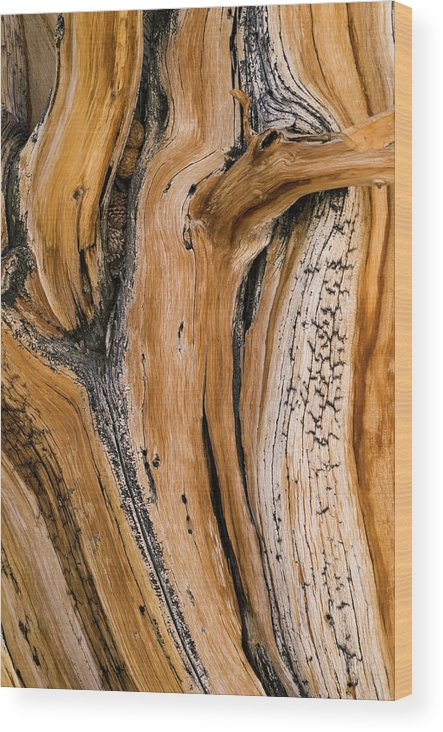 Weathered Wood Print featuring the photograph Weathered Wood Of Ancient Bristlecone by Kevin Schafer