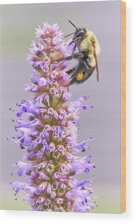 Bumblebee Wood Print featuring the photograph Bumblebee on Blue Giant Hyssop by Jim Hughes
