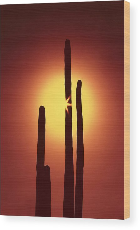 Sun Wood Print featuring the photograph Encinitas Cactus by Andre Aleksis