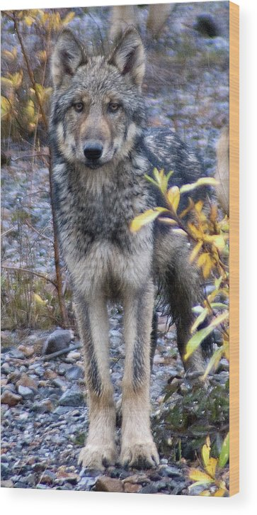 Alaska Wood Print featuring the photograph Wolf Cub in Denali by Jim and Kim Shivers