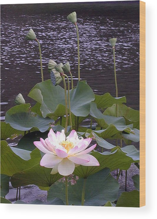 Lotus Wood Print featuring the photograph Beauty of the Lotus by John Lautermilch