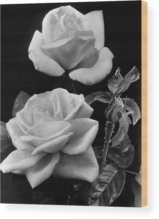 Flowers Wood Print featuring the photograph 'george Arends' Roses by J. Horace McFarland