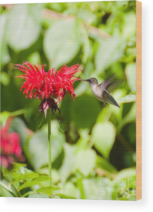 Nature Wood Print featuring the photograph Hummingbird by Wayne Valler