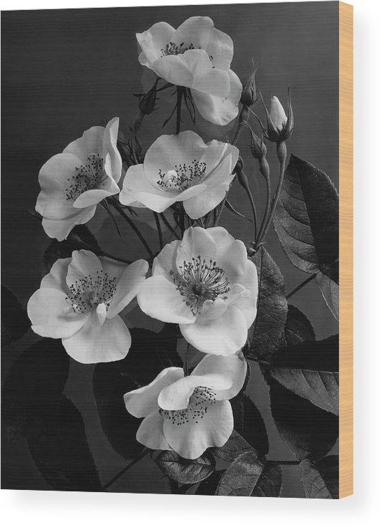 Flowers Wood Print featuring the photograph Moschata Alba by J. Horace McFarland