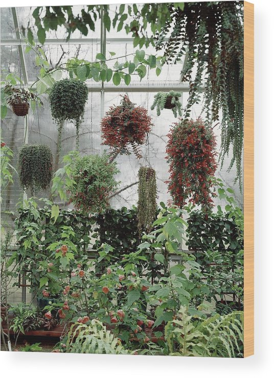 Indoors Wood Print featuring the photograph Plants Hanging In A Greenhouse by Wiliam Grigsby