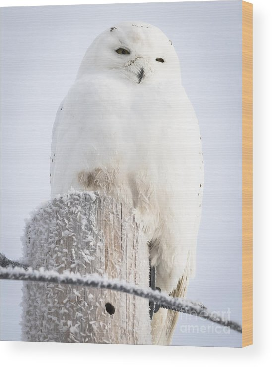 Canon Wood Print featuring the photograph Snowy Owl by Ricky L Jones