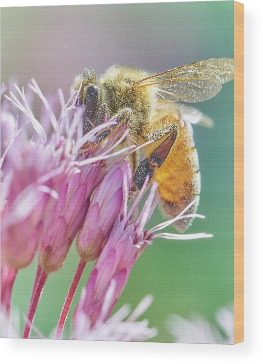 Eupatorium Maculatum Wood Print featuring the photograph Honey Bee on Joe Pye Weed by Jim Hughes