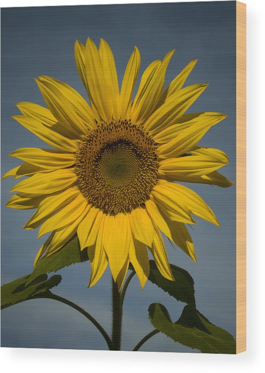 Sunflower Wood Print featuring the photograph On the rise by Mark Wiley